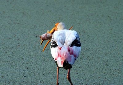 Keoladeo-Bird-Sanctuary-Bharatpur